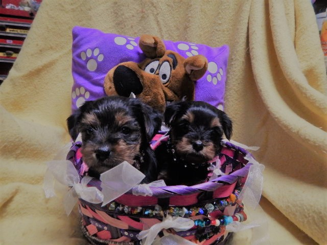 Cute Yorkie's Puppies For Sale  in  listed under Pets n Care - Pets