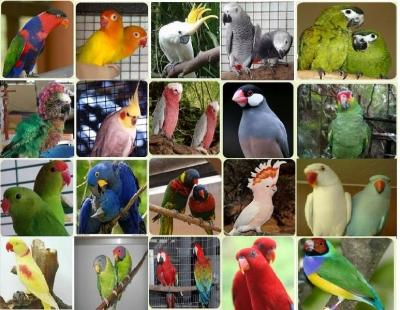 amazons,macaws,cockatoos,african greys and fertile eggs