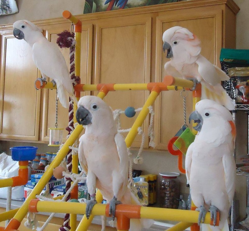 african Grey parrots for sale +237699461444 in  listed under Pets n Care - Pets To Sell