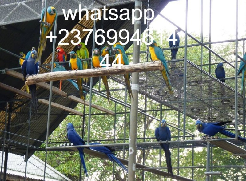 Macaw parrots for sale whatsapp +237699461444 in Arlington