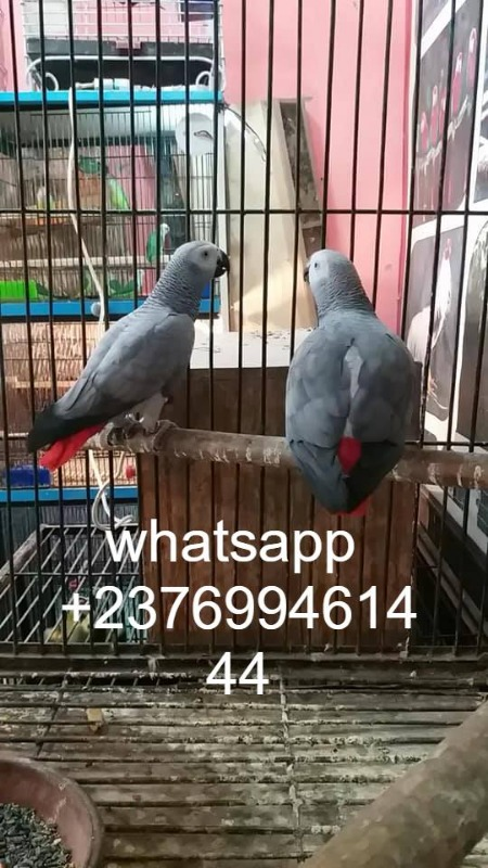 African Grey Parrots for sale whatsapp +237699461444 in  listed under Pets n Care - Pets To Sell
