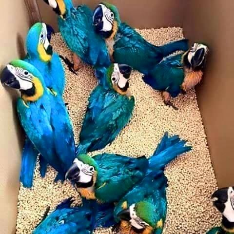 African grey parrots for sale whatsapp +237699461444 in  listed under Pets n Care - Pets To Buy