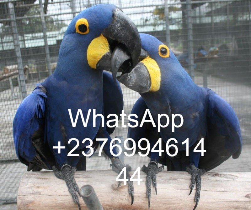 macaws for sale whatsapp +237699461444 in  listed under Pets n Care - Pets To Buy