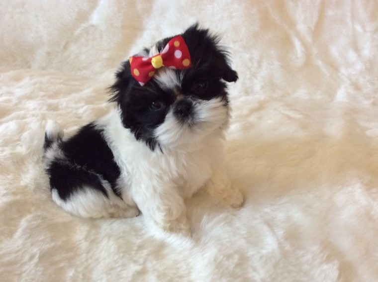 quality pedigree imperial shihtzu puppies ....each looking for their new family,  in Califounia